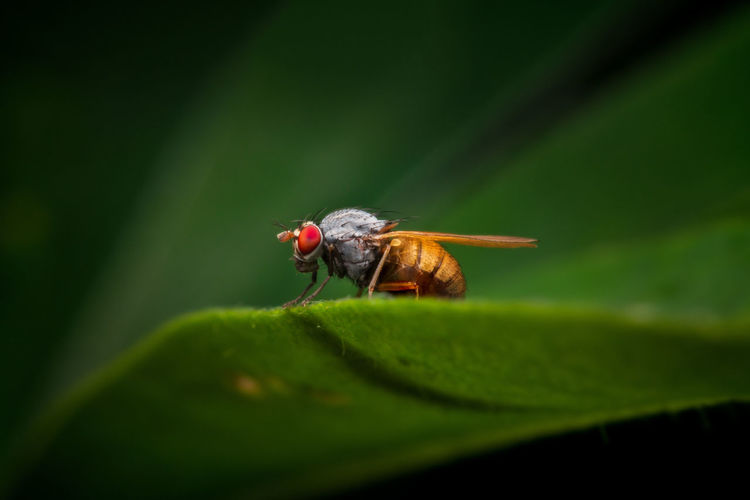 fly with bright red eyes Fly Animal Animal Themes Animal Wildlife Animal Wing Animals In The Wild Beauty In Nature Close-up Green Color Growth Insect Invertebrate Leaf Macro Nature No People One Animal Outdoors Plant Part Red Eye Selective Focus