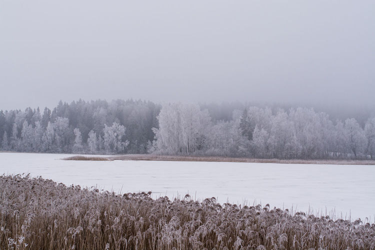 Frosty lakeside with straws in front and forest covered with fog Lakeview Beauty In Nature Cold Temperature Fog Foggy Day Foggy Morning Forest Lake Landscape Nature No People Outdoors Scenics Snow Snowy Forest Straws Tranquil Scene Tranquility Tree Winter