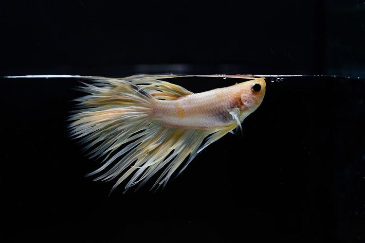 siamese fighting, Thai betta fish with beautiful white and gold colors Is moving in various gestures that are ready to fight In the black background isolate EyeEm Selects Animal Animal Themes One Animal Animals In The Wild Animal Wildlife Close-up Focus On Foreground Invertebrate Swimming Black Background Copy Space Indoors  No People Nature Fish Studio Shot Vertebrate Insect Water Marine