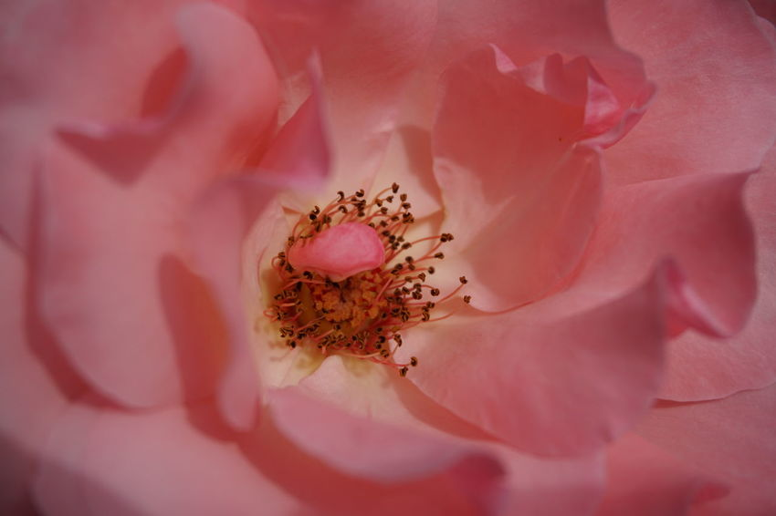Rose - Flower Close Up Pink Flower EyeEm Selects Flower Head Flower Beauty Pink Color Petal Stamen Blossom Softness Wild Rose Single Rose