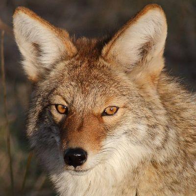 Coyote in sunset light Utah Coyote Antelopeisland