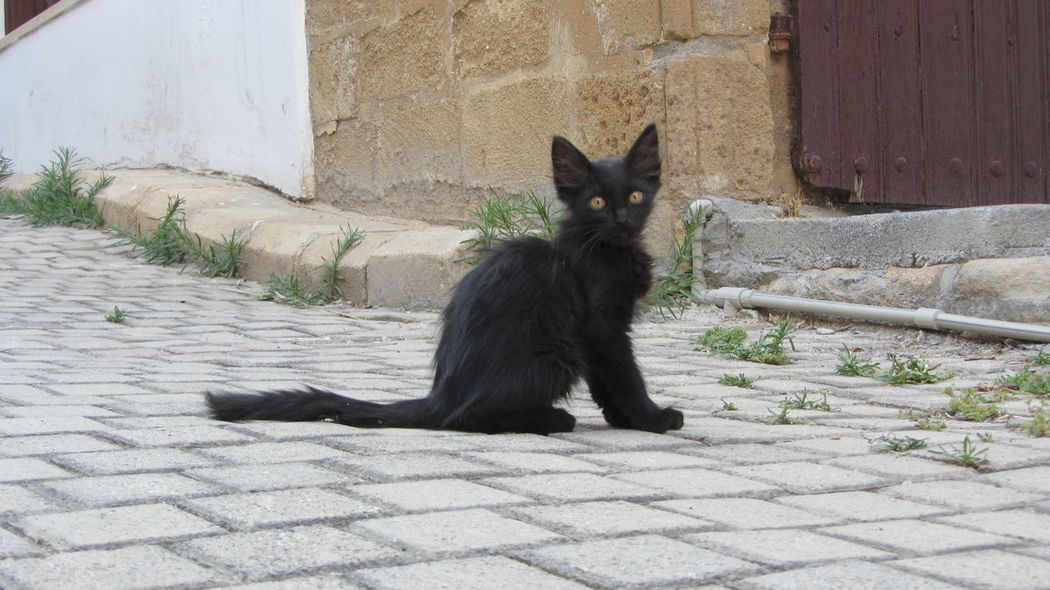 Cyprus Cyprus Cat Nikosia Animal Themes Architecture Black Color Building Exterior Built Structure Cat Day Domestic Animals Domestic Cat Feline Looking At Camera Mammal No People One Animal Outdoors Pets Portrait Siamese Cat Sitting Steps Whisker
