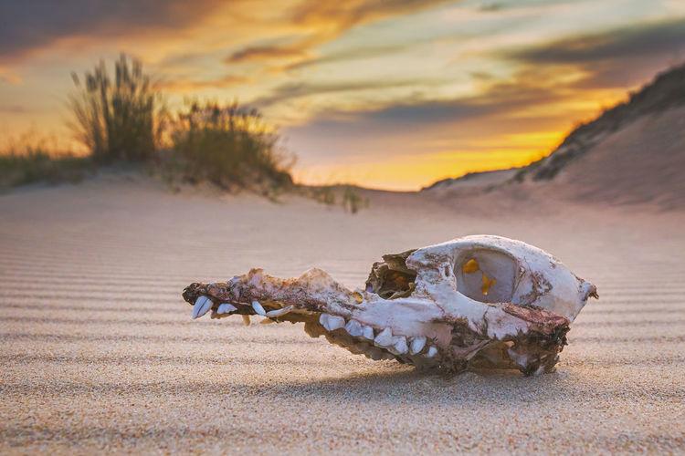 Animal skull on