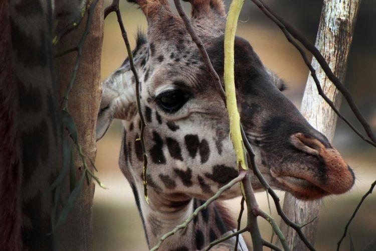 Close-up of giraffe seen through trees at san diego zoo safari park