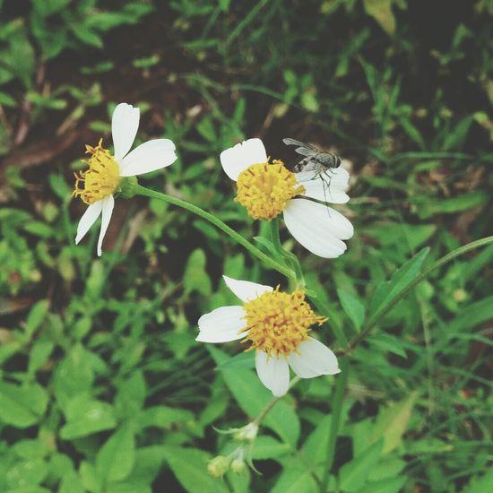 White Yellow Bee Nature