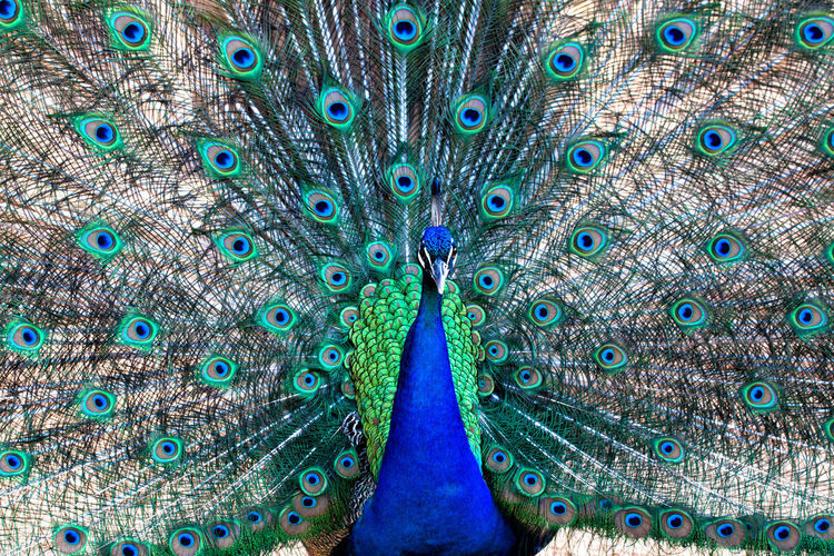 Peafowl (a.k.a. Peacock) - classic view. Animal Animal Themes Animal Wildlife Backgrounds Bird Blue Close-up Day Fanned Out Feather  Full Frame Green Color Multi Colored Nature No People One Animal Peacock Peacock Feather Peafowl Vertebrate