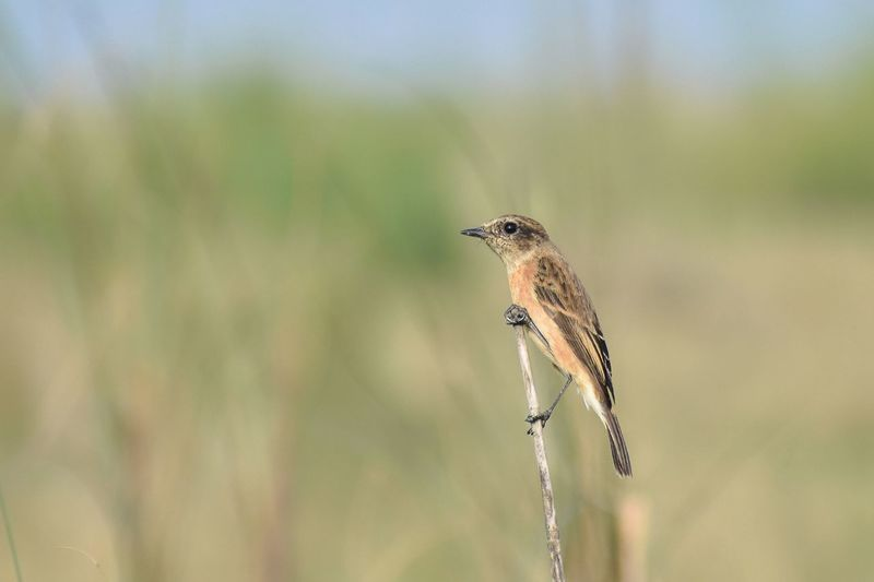 Close-up of a female common stonechat bird perching on a plant