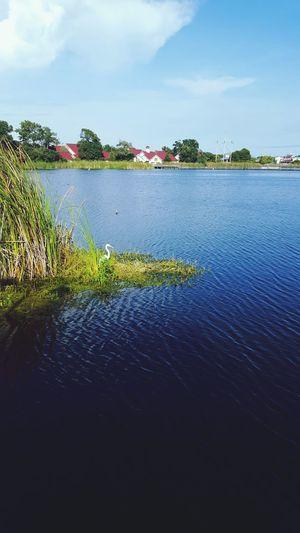 Crain in marsh
