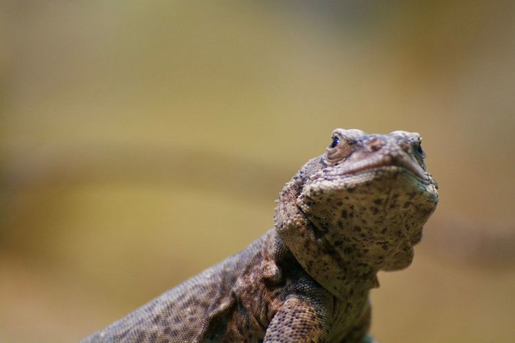 Animals In The Wild Animal Animal Body Part Animal Head  Animal Photography Animal Themes Animal Wildlife Animals Animals In The Wild Close-up Day Focus On Foreground Lizard Looking Looking Away Mouth Open Nature No People One Animal Outdoors Reptile Selective Focus Side View Vertebrate