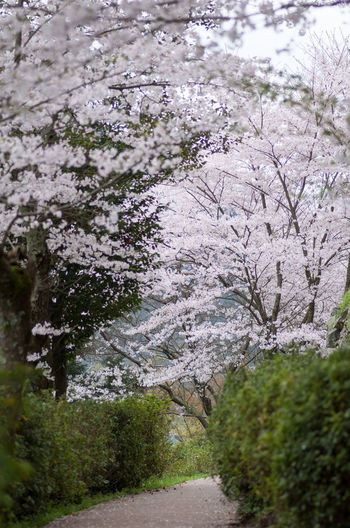 Cherry Blossoms Famous Place Flower Four Seasons  Japan Landscape Leaf Nature Outdoors Ozu Pentax PENTAX K-30 Plant Sidewalk Smc PENTAX-D FA MACRO 100mmF2.8 WR Yeah Springtime!