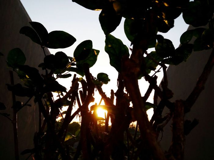 Nature Growth Sky Plant Tree Sunset Beauty In Nature Close-up Beauty In Nature Potted Plant Gold Colored The Colours Of Life Light And Darkness