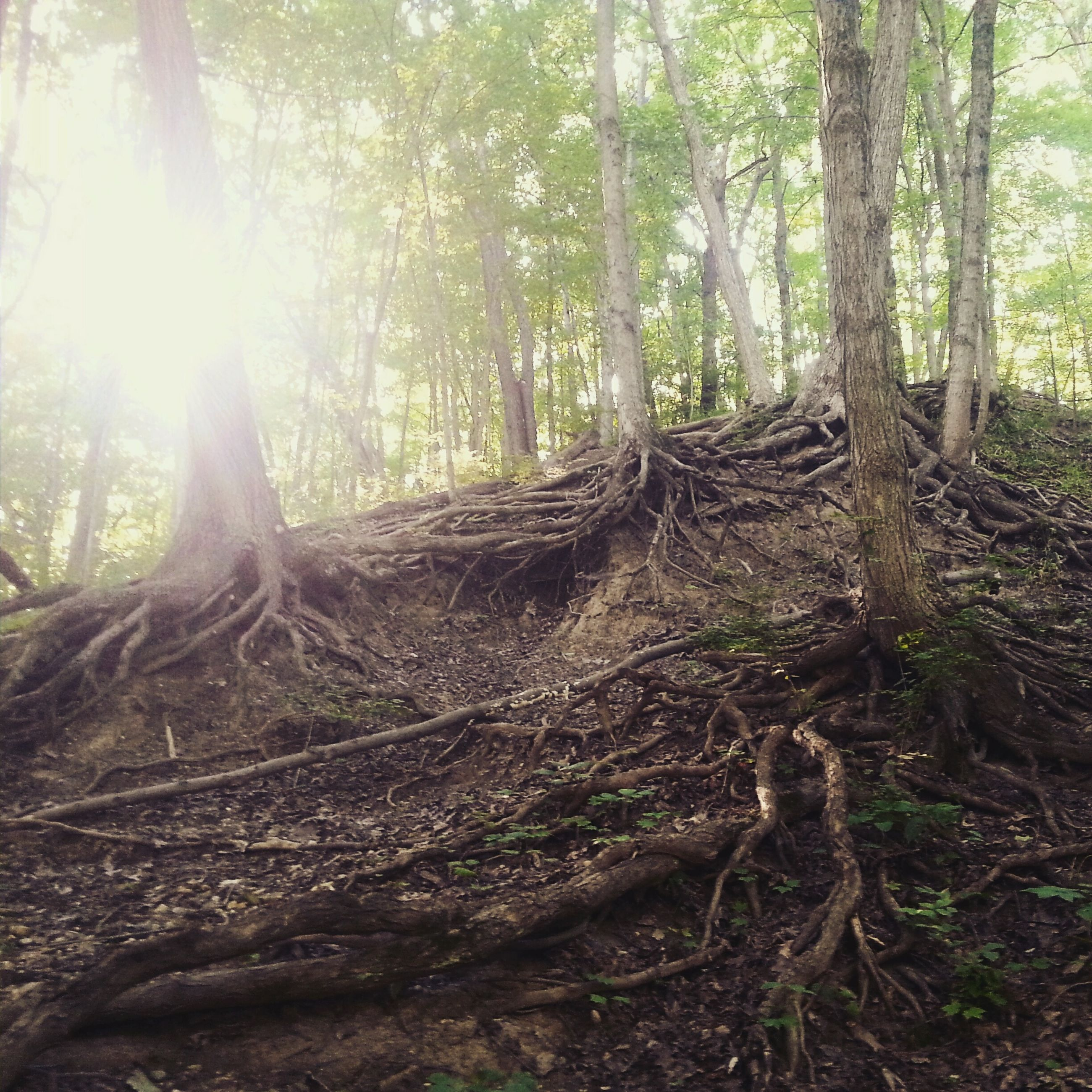 tree, forest, sunbeam, sun, sunlight, tranquility, tree trunk, woodland, lens flare, nature, tranquil scene, growth, beauty in nature, scenics, landscape, non-urban scene, sunny, day, outdoors, no people