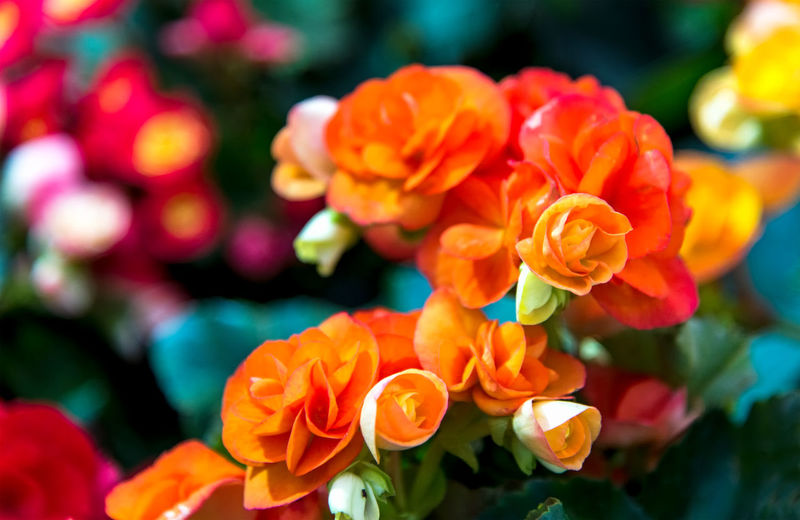 Close-up of multi colored flowering plant