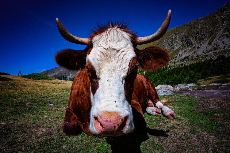 Close-up portrait of a cow
