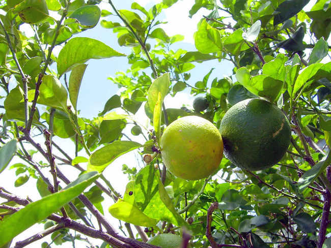 A Cuban Orange Tree. Cuban Oranges are extremely bitter and stay green even when ripe. Great for mixed drinks. Beauty In Nature Branch Citrus Fruit Close-up Cuban Orange Day Exotic Fruit Freshness Fruit Green Color Green Oranges Growth Hanging Healthy Eating Leaf Low Angle View Nature No People Orange Tree Orange Tree And Leaves Oranges On The Tree Oranges On Tree Outdoors Tree Tropical Fruit