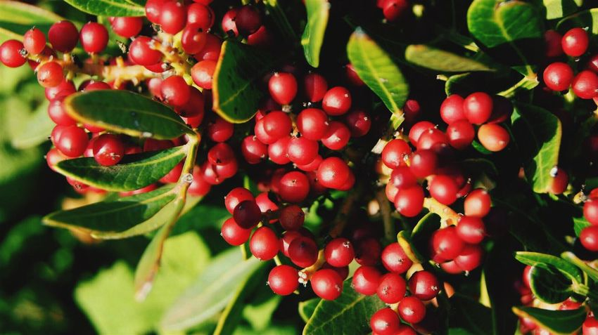 Fruit Red Food And Drink Growth Food Freshness Leaf No People Tree Green Color Outdoors Day Healthy Eating Nature Close-up