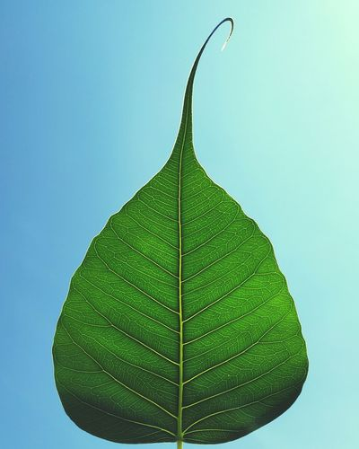 bodhi leaf Bodhi Tree Bodhi Leaf Buddha Buddhism Leaf Studio Shot Colored Background Close-up Green Color Leaf Vein Natural Pattern Leaves