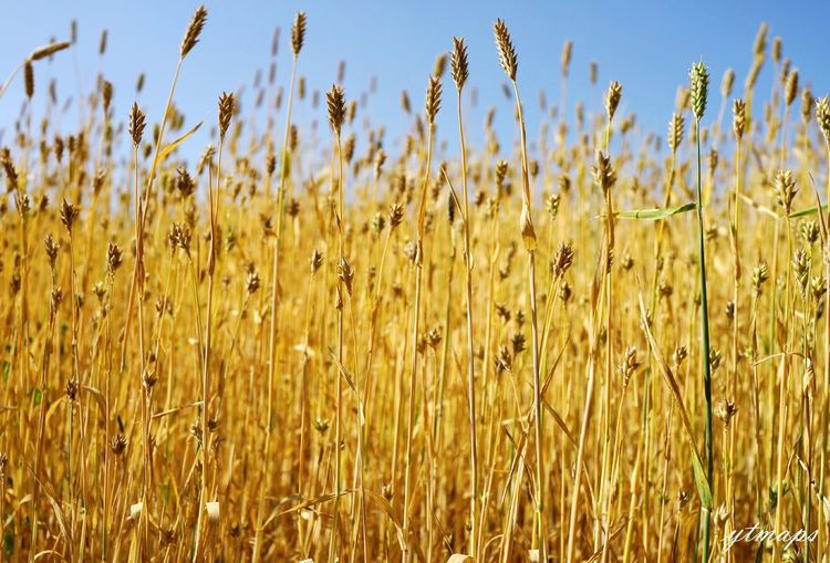 四月份的 罗平 ,金黄的油菜花田渐渐消失,但是田间却依然有着漂亮的景色