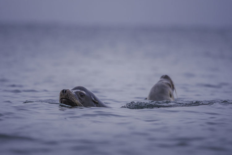 Sea Lions Swimming In Vancouver Island