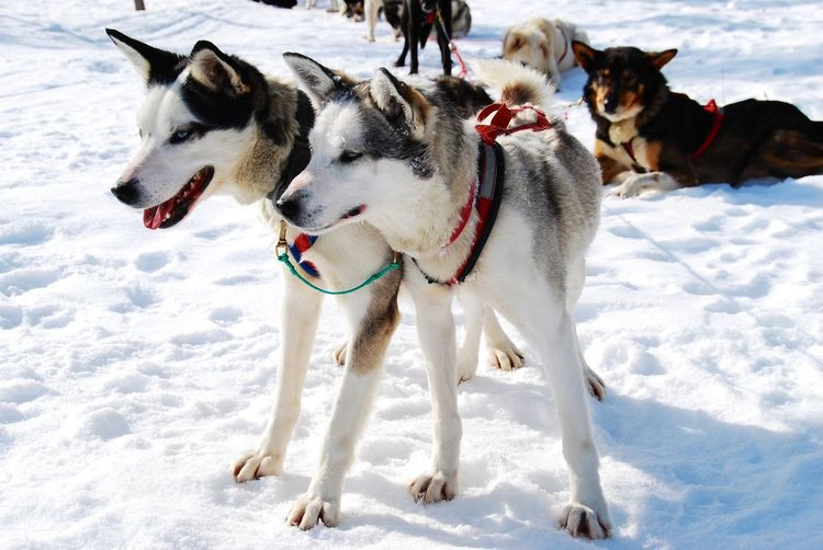 Sled Dogs On Snow Covered Field During Winter