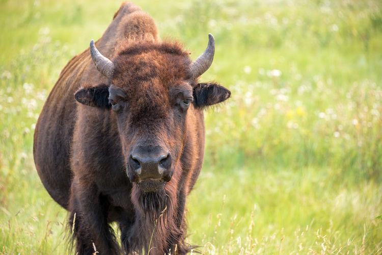Portrait of bison standing on field