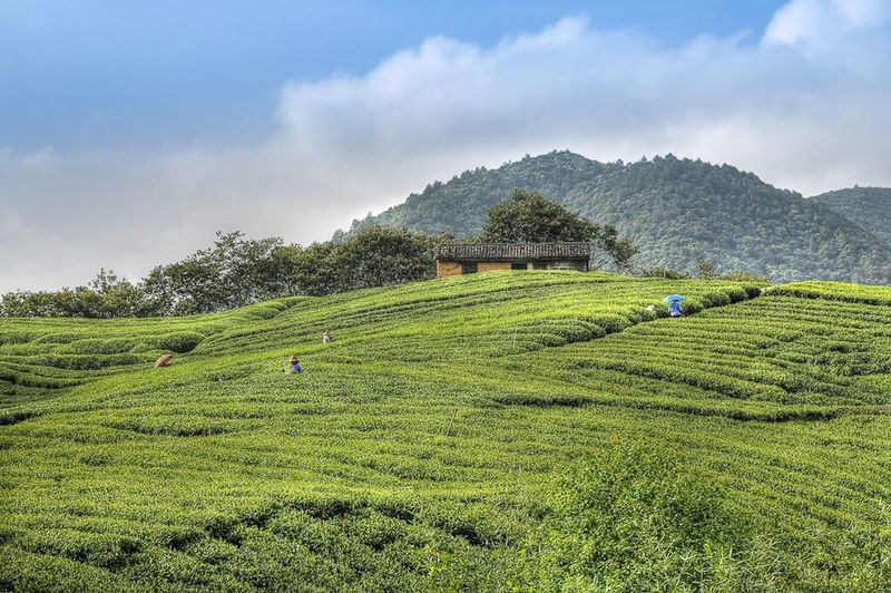 Agriculture Field Landscape Green Color Farm Crop  Rural Scene Mountain Nature Scenics Outdoors Growth Moganshan China Sky Beauty In Nature Tea Crop Tree No People Terraced Field Tea Tea Plantation