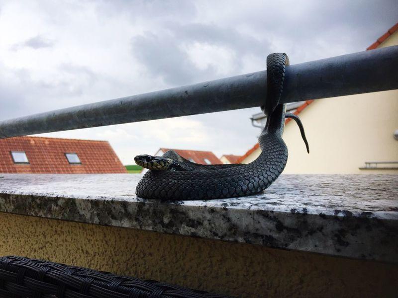 Snake Natrix Natrix Ringelnatter Schlange