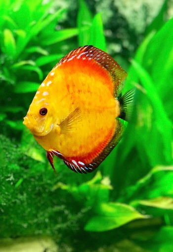 Diskus Diskus Aquaristik One Animal Animal Themes Animals In The Wild Nature Green Color No People Close-up