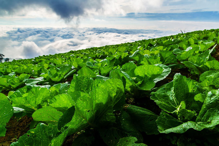 Cabbages growing on farm against sky