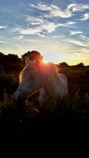 Horse grazing on field against sky during sunset