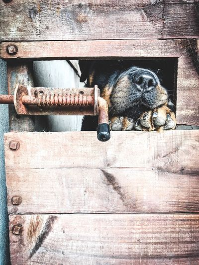 Dog peeking through the gate. Rottweiler Dog No People Day Sunlight Outdoors Metal Close-up Nature Protection High Angle View Security Still Life Safety Lock Rusty Old Shadow Wood - Material