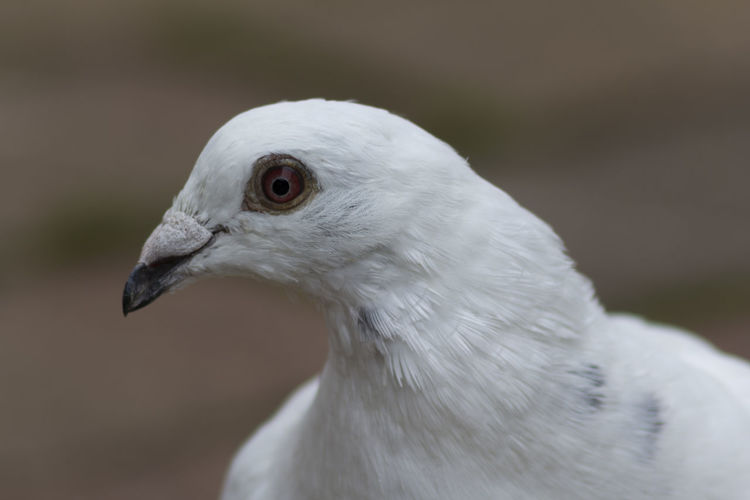 Side view of a white pigeon's head