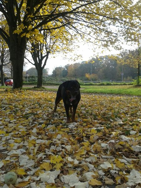 Today it's first Tongueouttuesday in November! Have A Nice Day♥ Rottweiler My Beauty My Dogs Are Cooler Than Your Kids Dog Life Hunderunde Goldener Oktober Der Herbst Ist Da