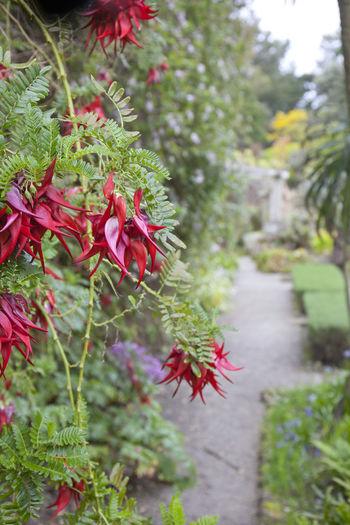 Path Red Distance Flowers Garden Tresco Tresco Abbey Gardens Wet