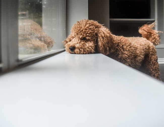 dog looking out of window Rainy Days Animal Themes Brown Close-up Day Dog Domestic Animals Goldendoodle Indoors  Mammal No People One Animal Pets Window