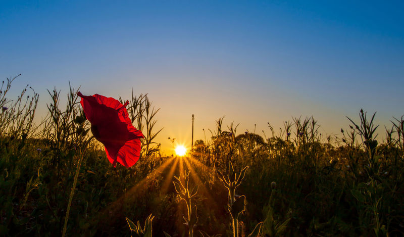 Bright red wild poppy flowers at sunrise. Beauty In Nature Blue Bright Dawn Field Flower Growth Morning Nature Plant Poppy Red Rememberance Sky Stem Sunrise Symbol Vibrant Wild