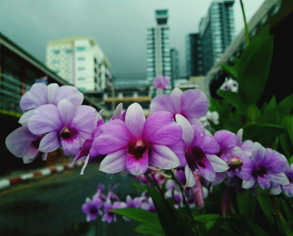 flower City Sky Beauty In Nature ❤️❤️ Thailand🇹🇭 2018 Day Plant 10 Summer Road Tripping The Troublemakers The Great Outdoors - 2018 EyeEm Awards The Still Life Photographer - 2018 EyeEm Awards The Traveler - 2018 EyeEm Awards The Photojournalist - 2018 EyeEm Awards The Portraitist - 2018 EyeEm Awards The Creative - 2018 EyeEm Awards The Architect - 2018 EyeEm Awards The Fashion Photographer - 2018 EyeEm Awards The Street Photographer - 2018 EyeEm Awards Love Is Love EyeEmNewHere