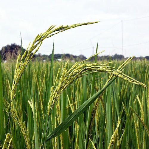 It is in each of every farmers dream to have a bountiful harvest. Ricefield Fieldofdreams Harvestseason Afarmerstale farmer farmville