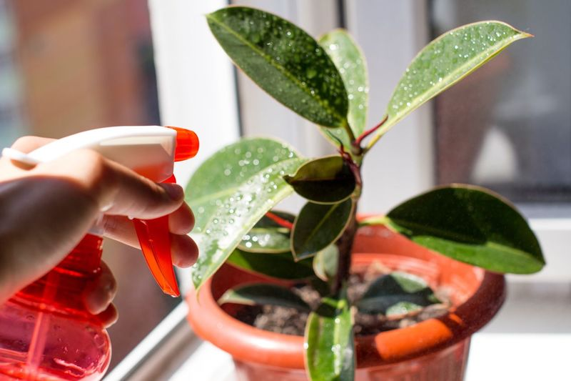 Moisture Wet Tropical Spraying Nature Drops Dew Ficus Window Summer Home Plant Plant Part Leaf Close-up Focus On Foreground Plant Indoors  Green Color Nature Red No People Potted Plant Freshness Drink Glass Day Water Growth