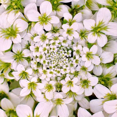 3XSPUnity EyeEm Best Shots Enjoying Life EyeEmNewHere Flowering Plant Flower Plant Freshness Beauty In Nature Vulnerability  White Color Close-up Petal Fragility Growth No People Flower Head Inflorescence Nature Full Frame High Angle View Daisy Backgrounds Pollen