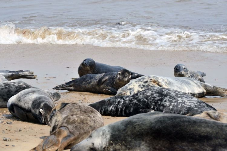 group of seals Sea Water Beach Land Group Of Animals Animal Themes Animals In The Wild Animal Wildlife Animal Underwater No People Seal - Animal Seal Mammal Nature Relaxation Day Wave Vertebrate Outdoors Marine Seals Seals On Beach Seaside Summer