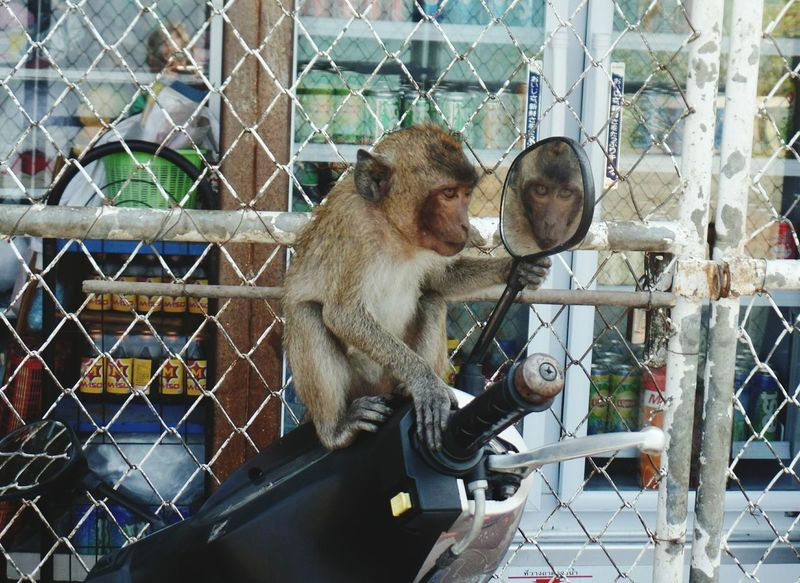 hello handsome Monkey Mammal No People Outdoors Animal Themes Animals In The Wild Thailand Looking In The Mirror Scooter Fence Let's Go. Together. Done That. Been There. Connected By Travel Summer Exploratorium Visual Creativity The Traveler - 2018 EyeEm Awards