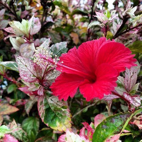 Hibiscus flower Bunga Raya Flowers Putrajaya,malaysia