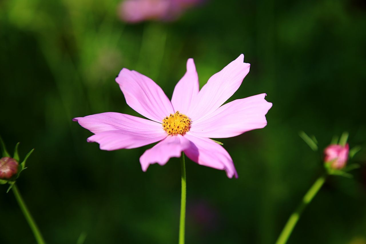 flower, petal, nature, beauty in nature, fragility, flower head, growth, pink color, freshness, plant, focus on foreground, pollen, blooming, close-up, cosmos flower, no people, outdoors, day