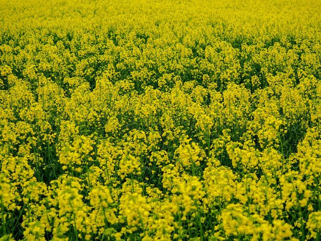 Yellow Flower Beauty In Nature Flowering Plant Field Plant Land Rural Scene Full Frame Nature Tranquility Agriculture Day No People