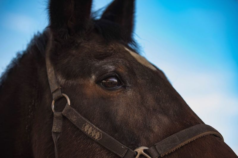 Horse Sky Close-up Blue One Animal Animal Head  Domestic Animals Animal Body Part Bridle Livestock Day Animal Eye Animal Themes Outdoors Mammal No People Nature Portrait Horsephotography Nikon Nikond750 Taking Photos 70-200mm F2.8