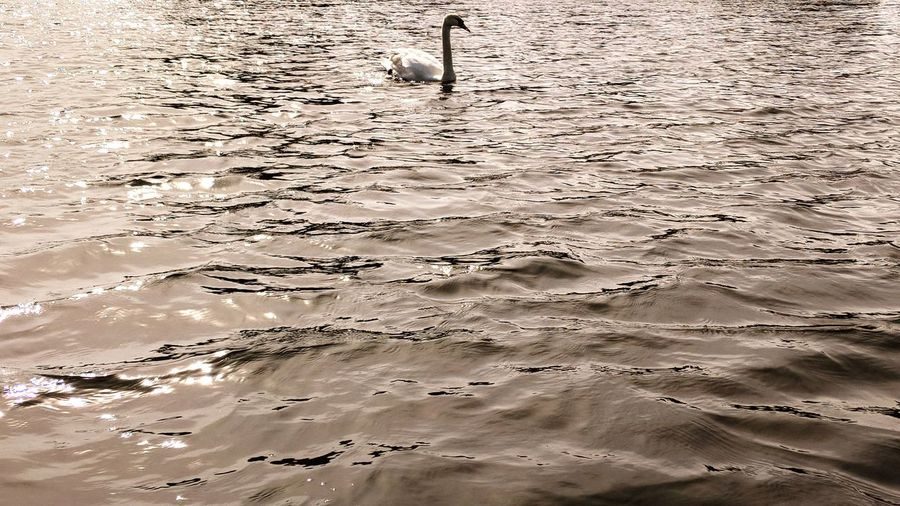 Swan Reflection Light Canoe Lake Water Backgrounds Full Frame Wet Pattern Close-up Standing Water Lake