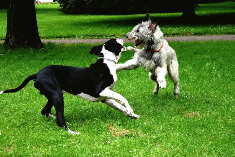 Cearnaigh and Eddy. Taking Photos Check This Out Enjoying Life Dogwalk Dogslife Dog Of The Year 2016 Dog Walking Great Dane Dogge Nordpark The Places I've Been Today Spring 2016 June 2016 Dog Of The Day See What I See Playful Dog Cearnaigh Irish Wolfhound Love My Dog  Dog Of My Life