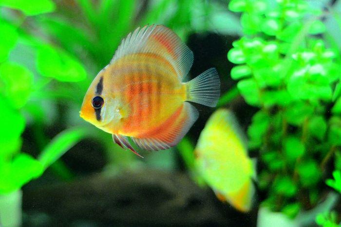 Discusfish Discus Fish Aquarium Photography Aquarium Life