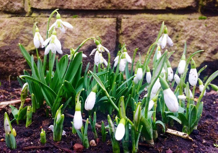 Schneeglöckchen Snowdrops Springflowers Frühlingsblümchen